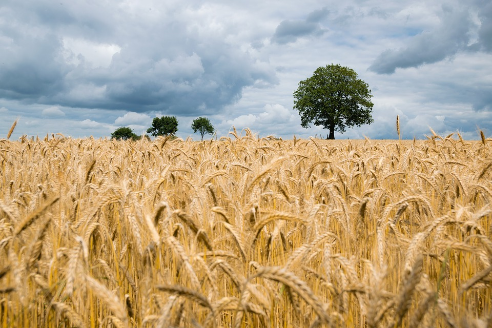 zralá pšenice